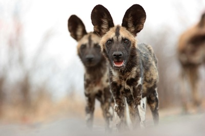 African Wild dog, Moremi Game Reserve
