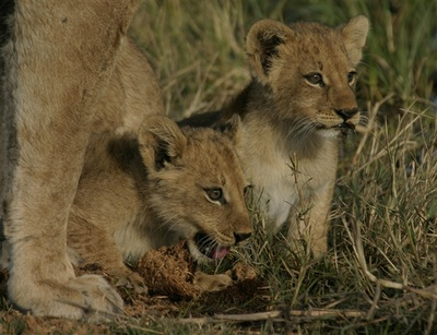 Lion cubs seen on game drive, Botswana
