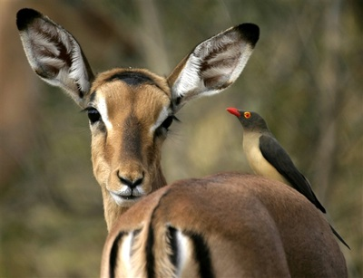 Impala and red-billed oxpecker, Botswana