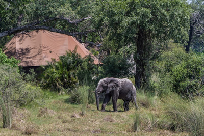 Elephant strolling through camp at Kanana, Okavango Delta